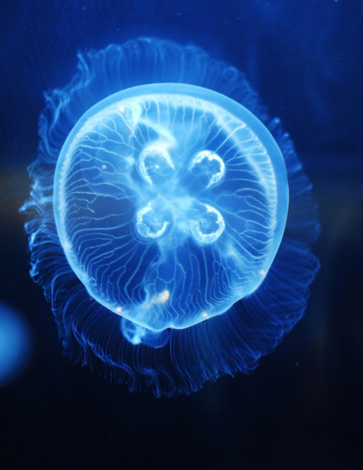 moon jellyfish live pet jellyfish