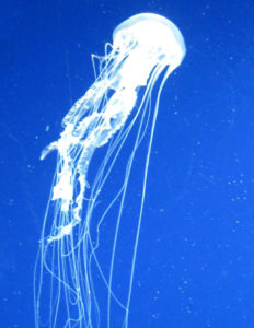Atlantic Sea Nettle Jellyfish