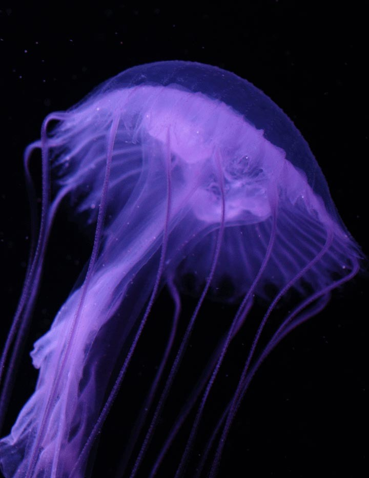 amakusa jellyfish buy live jellyfish online pet jellyfish. Black Bedroom Furniture Sets. Home Design Ideas