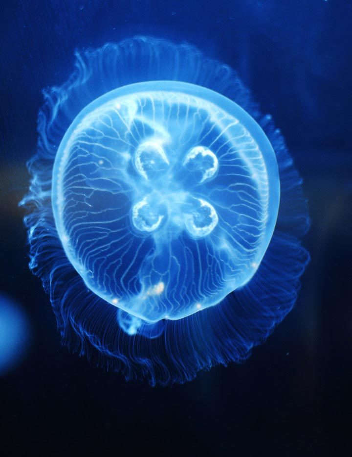 moon jelly fish The moon jellyfish is one of the most common jellies in florida it has a mild or virtually no sting and often washes up on florida beaches by the thousands it is also known as aurelia aurita.