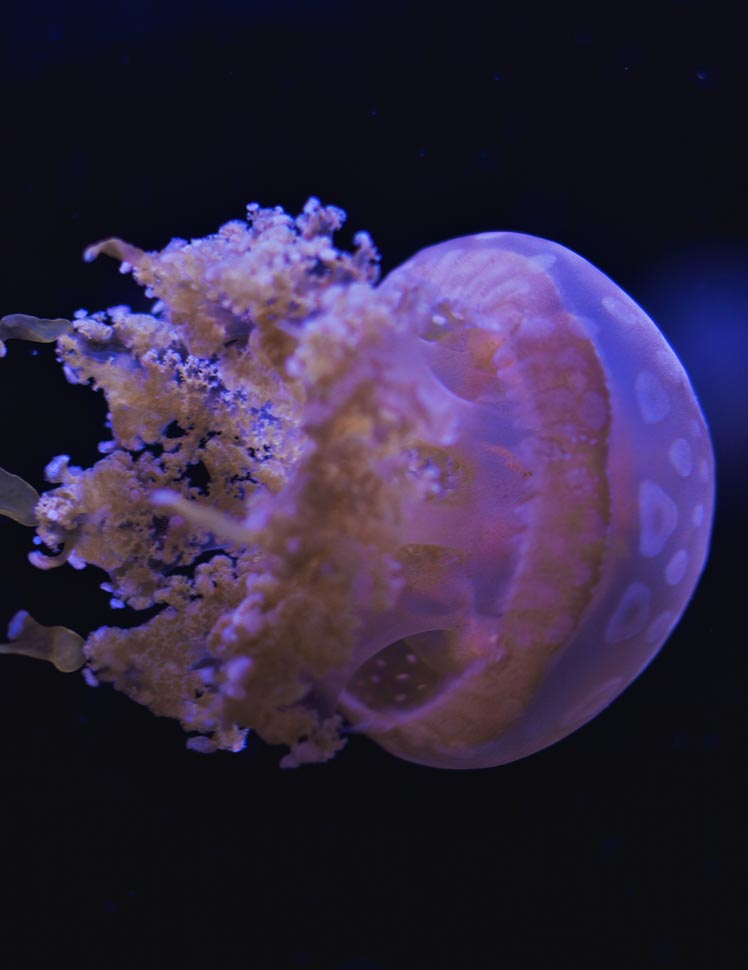 Spotted lagoon jellyfish live pet jellyfish for Jelly fish pet