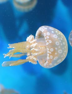 Spotted Lagoon Jellyfish