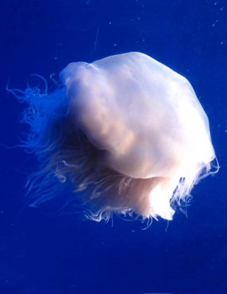 Ghost Jellyfish