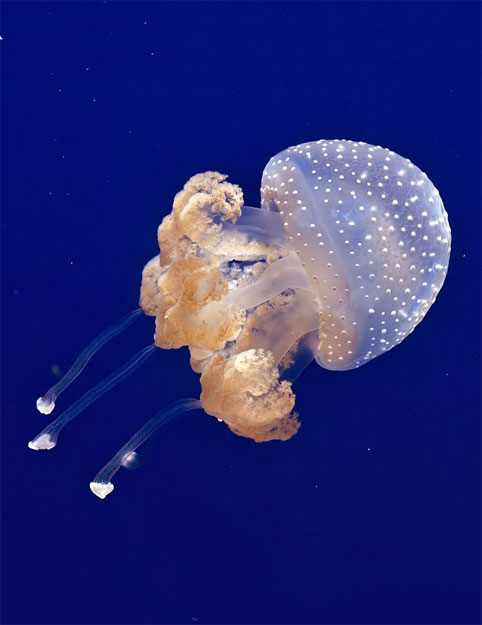 australian spotted jellyfish live pet jellyfish. Black Bedroom Furniture Sets. Home Design Ideas