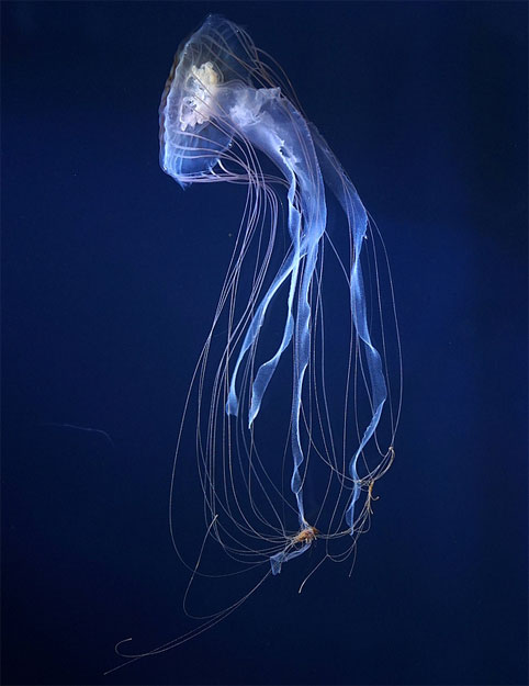 Purple Striped Jellyfish